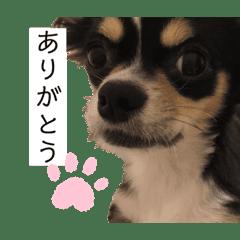 我が家の犬サスケ2