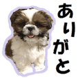 Shih tzu photo sticker
