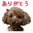 Pet dog Toy poodle