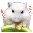 Djungarian hamster -Daifuku- Photo ver.2