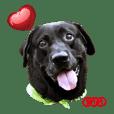 P. Black Labrador