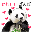 Cute Panda Photo sticker
