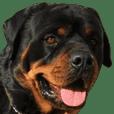 Rottweiler's Kellio