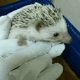 My hedgehog
