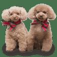 Toy Poodle ShokoPeru en