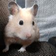 Momo of hamster