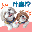 2 Shih Tzu Brothers-photo1