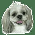 [Live action] Funny cute Shih-Tzu dog