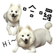 Japanese Spitz - Dota&Niuniu's life