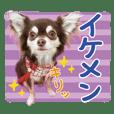 オッリルマーナの愛犬チワワのレオン