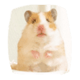 Japanese 4 fluffy hamsters