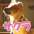 【実写】サクラちゃん