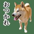 柴犬(しばけん)の写真スタンプ【日常編】