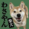 わさやん(柴犬)