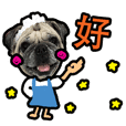 SHABU - the Pug (Taiwanese Version)