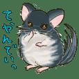 fluffy chinchilla everyday