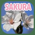 櫻 - SAKURA -