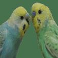 cute cute parakeet2