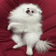 A white pomeranian and stock terms