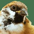 a cute litttle sparrow