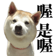 shibainu is very cute
