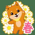 柴犬「ムサシ」11 春