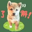 shiba puppy ver