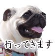 It is Hana-chan of Pug.
