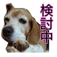 The beagle in Kanagawa.
