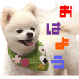 Real DOG BANDANA White Pomeranian2
