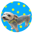 Sticker of a Yorkshire terrier8