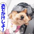 バイク犬、ティナ 3