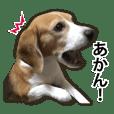 beagle kyotoben