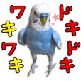 "The parakeet ""SAKU"""