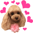 Sticker of toy poodle photograph ver.2