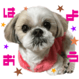 Real DOG Shih Tzu