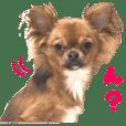 Real DOG Brown Chihuahua