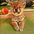 Shibainu puppy