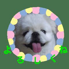 癒し犬ペキニーズ