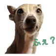 Italian Greyhound Funny daily of Celeste