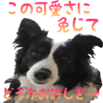 The Border Collie Hitomi's feeling.