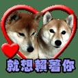 Shibainu Family
