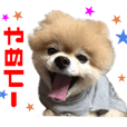 Real DOG Pomeranian -BOO-2