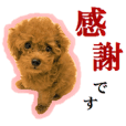 Toy Poodle Lion 5