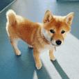 柴犬つむぎ 3