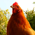 Chicken's tama