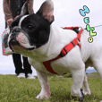 French bulldog Pino picture Sticker