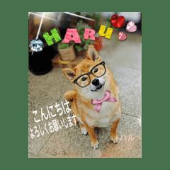 柴犬のハルちゃん②
