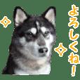 犬写真スタンプ!ハスキー編