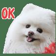 Pomeranian Rui